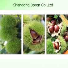 Chinese Famous Chestnut in Hot Sale