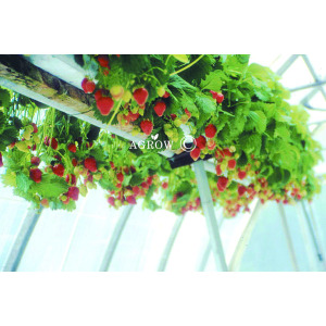 Strawberry Growing system Truss Support