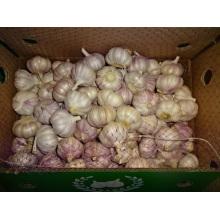Norma normal de exportación de ajo blanco