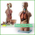 Педагогические модели пластической анатомии торс человека со съемными органами