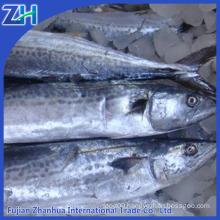 frozen spanish mackerel (Scomberomorus niphonius)