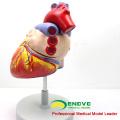 HEART04(12480) медицинские науки анатомическую модель человеческого сердца