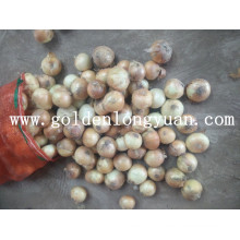 Nouvelle culture d'oignons jaunes frais de Shandong
