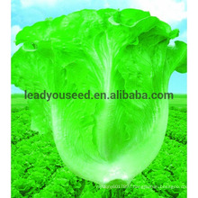 LT02 New century early maturity heat resistant lettuce seeds companies