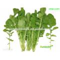 Suntoday vegetal asiático F1 orgânicos jardim foguete argula alface Lactuca sativa sementes (32004)