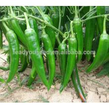 P03 Jinfu no.203 bonne qualité graines de piment vert hybride f1, type de différence de graines à vendre