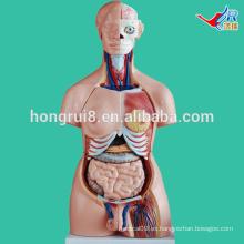 Torso de sexo dual de ISO 85CM, modelo del torso de la anatomía