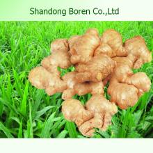 2015 Chinesische Gemüse frischen jungen Ingwer