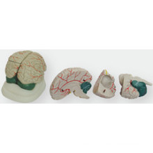 The New Brain Anatomical Model