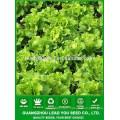 NLT04 Shuru best lettuce seed guangzhou