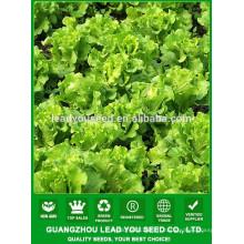 NLT04 Shuru meilleure graine de laitue guangzhou