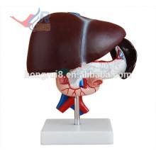 ISO Modelo de hígado anatómico con páncreas y duodeno Modelo