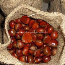Frutos de castanheiro chineses Dandong tipos de castanhas