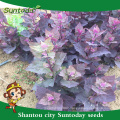 Suntoday Asian home garden supply catalog vegetable hybrid Fruit and vegetable F1 Organic prunella asisatica nakai seeds(81001)