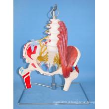 Human Lumbar Spine Nerves e Artery Medical Skeleton Model (R020805)