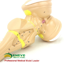 BRAIN22 (12405) Comunicación del paciente del hospital Modelo anatómico del tallo cerebral