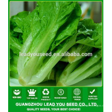 NLT06 Lunqi Guangzhou fournisseur de graines de laitue, les prix des graines de laitue
