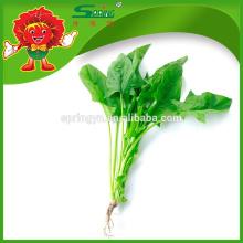 IQF espinafre orgânico folha inteira