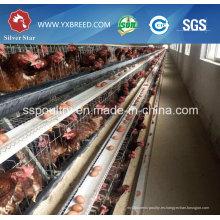 Jaulas de aves de corral automáticas de granja de pollos de Silver Star