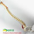 SPINE05 12377 Medical Science Human Spine Spine Painted Muscles, Modelos de columna vertebral de tamaño real