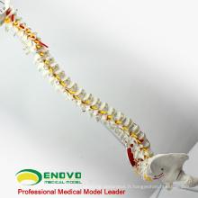 SPINE05 12377 muscles peints de colonne vertébrale humaine flexible de science médicale, modèles de colonne vertébrale grandeur nature