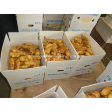 China Shandong Herkunft frischen Ingwer