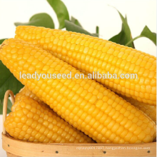 NCO012 Kele Guangzhou best corn seeds for sale
