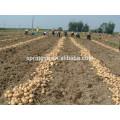 Hochwertige Kartoffel für russische Importeure von Kartoffeln