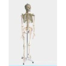 Modèle médical / pédagogique-squelette humain