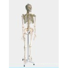 Medical/Teaching Model-Human Skeleton