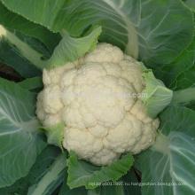 Cf44 фонтан гениальности 44 дня досрочного погашения гибридные семена цветной капусты