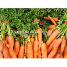 Frische chinesische Karotte!