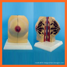 Medical Science Human Female Breast Anatomical Model