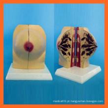 Ciência Médica Modelo de Anatomia do Peito Feminino Humano