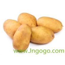 Nouvelle culture d'exportation de bonne qualité de pommes de terre fraîches chinoises