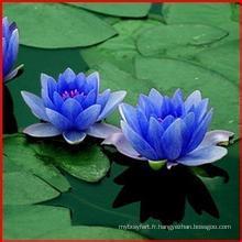 Extrait de fleurs de lotus bleu 100% naturel 10: 1