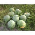 W01 Nouvelle grande taille f1 graines de pastèque sans pépins hybride