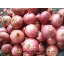 Fresh Shallot with High Exporting Quality