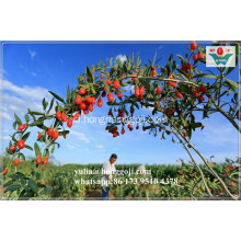 Sampel Obat Herbal Gratis Goji Berries