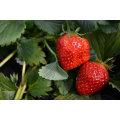 IQF Freezing Organic Strawberry HS-16090905