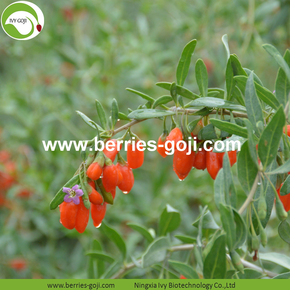 Chinese Wolfberry