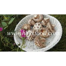 Vegetales deshidratados (hongo de flor blanca)