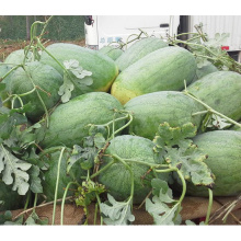 HW04 Desi semillas de sandía híbridas grandes ovales F1 en semillas de hortalizas