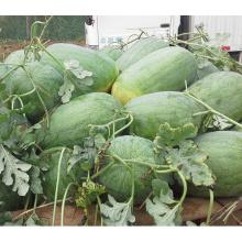 HW04 Desi grosses graines de pastèque hybride F1 vertes ovales en graines potagères