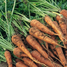 Chinese carrot seeds for planting