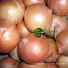 Cebolla amarilla fresca entera de la alta calidad