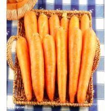Shandong Chine carottes fraîches pour la vente chaude