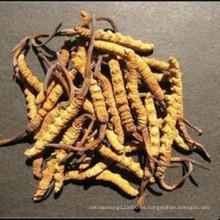 Cordyceps sinensis natural