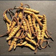 cordyceps sinensis naturel