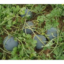 HW02 Geren grande rodada sementes de melancia sem sementes híbridas F1 verde escuro para o plantio